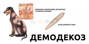 Демодекоз, або підшкірний кліщ у собаки
