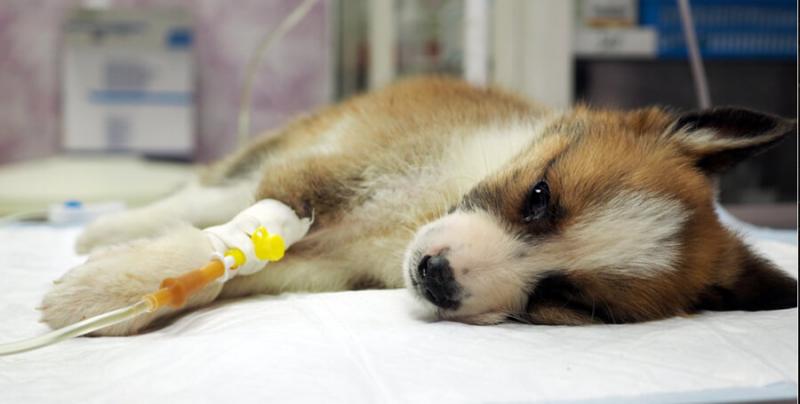 Парвовірусний ентерит у собак. Діагностика. Лікування. Профілактика.